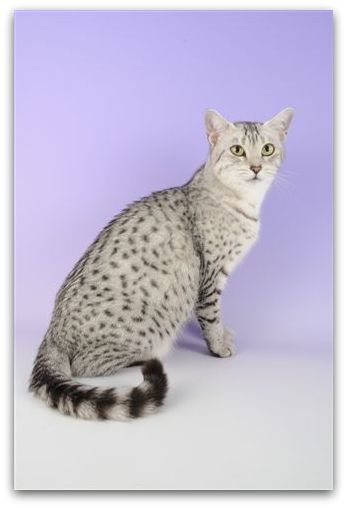 Mauology photo of egyptian mau cat
