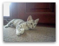 Mustafa Mau photo of egyptian mau cat