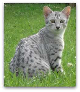 Tarjjika Egyptian Maus photo of egyptian mau cat