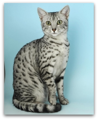 Memphis Maus photo of egyptian mau cat