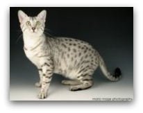 Starrsailor Egyptian Maus photo of egyptian mau cat