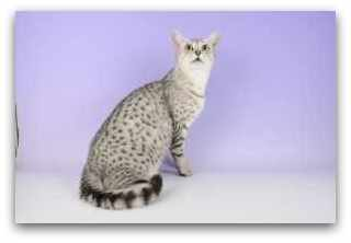 Mauology photo of egyptian mau cat tali